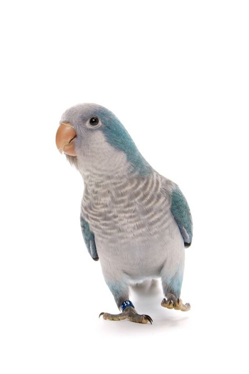 Blue Quaker Parrots