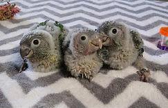Green-Cheek Conure Parrots