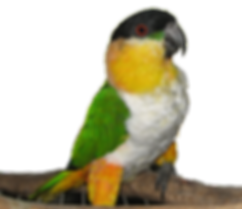 Black Headed Caique Parrots