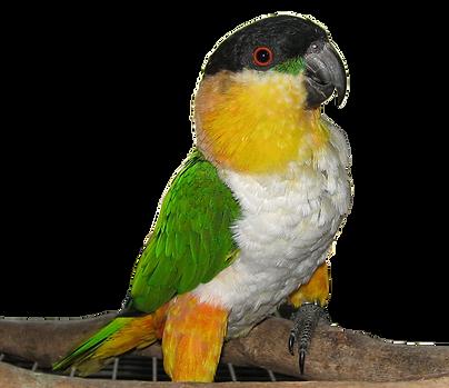 Black Headed Caique Parrots