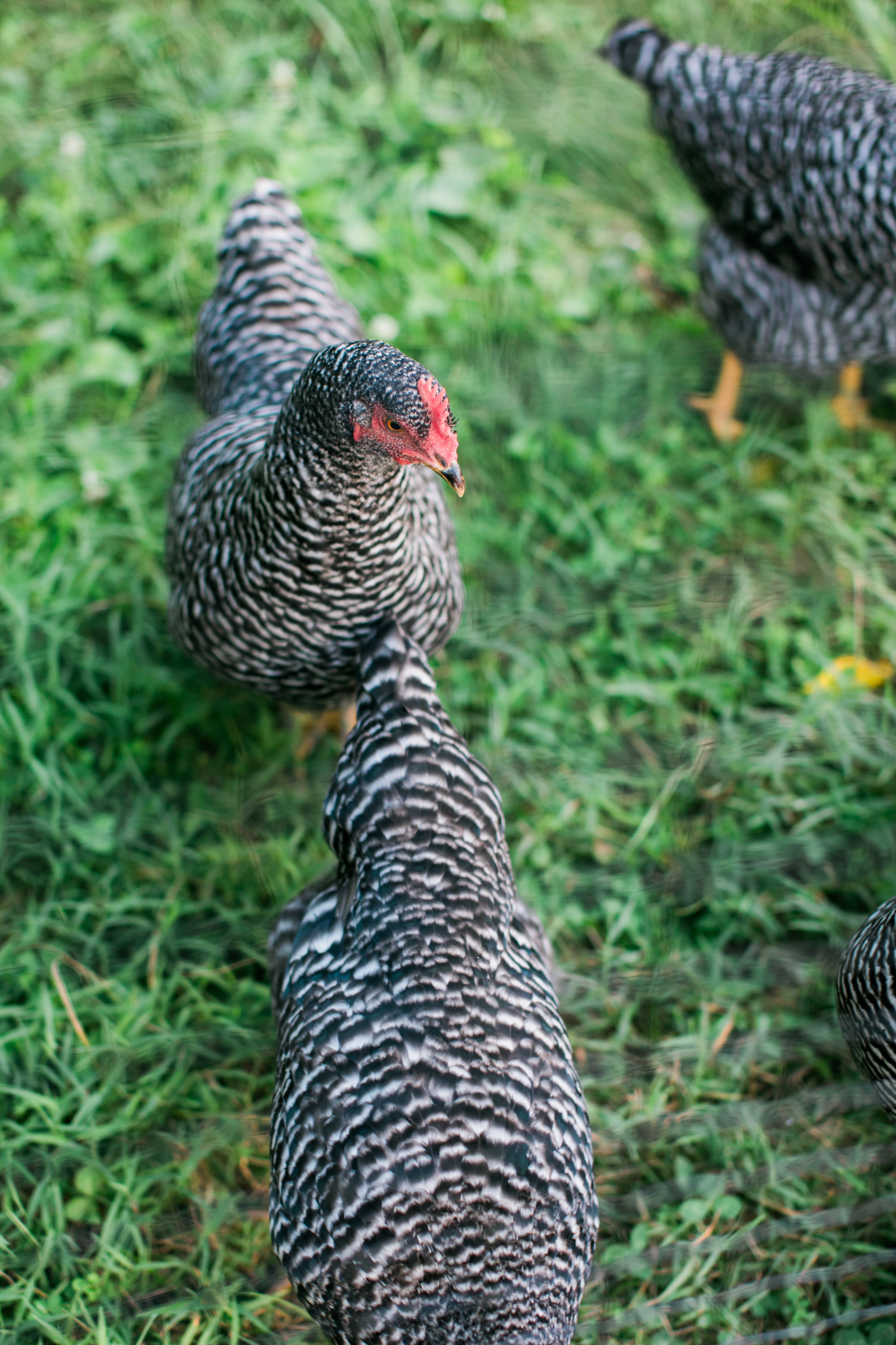 our Barred Rock hens