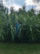 Corn garden