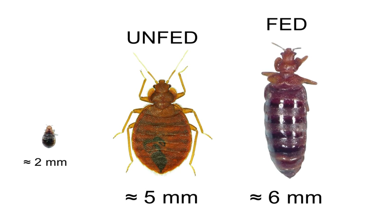 Recognizing a Bed Bug