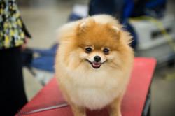 AKC Dog Show Grays Harbor Fairgrounds-20
