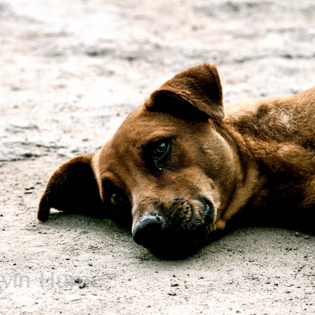 Dog in Honduras