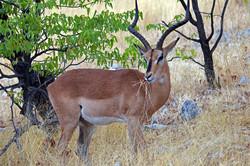 Southern Impala