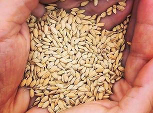 縄文米の種籾
