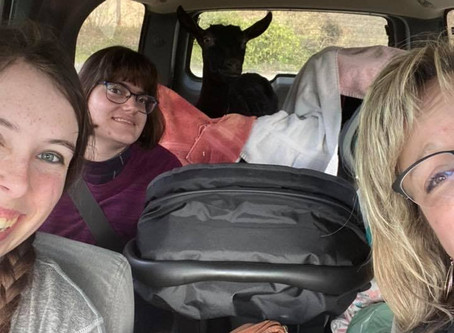 Road Trippin' with a Goat in the Back