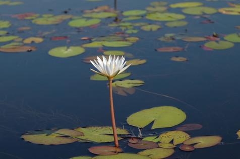A lily in the Okavango Delta