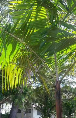 Teddy Bear Palm