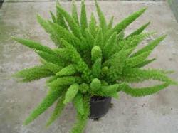 foxtail fern.jpg