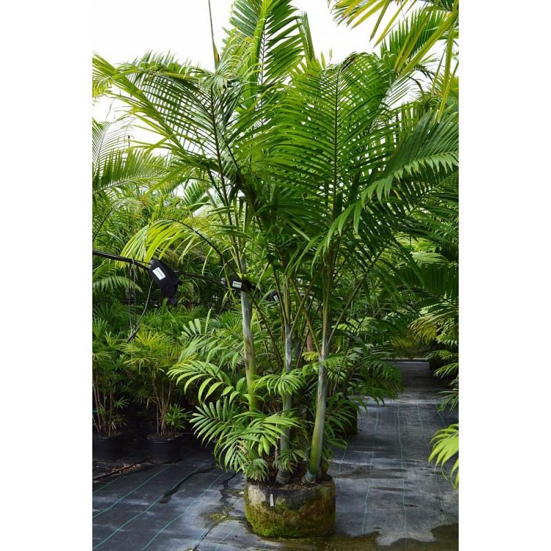 Cabada Palm