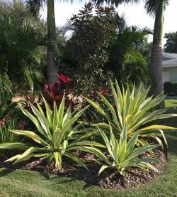 false agave