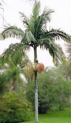 Piccabeen Palm