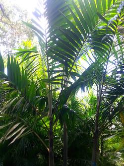 Veitchia Palm