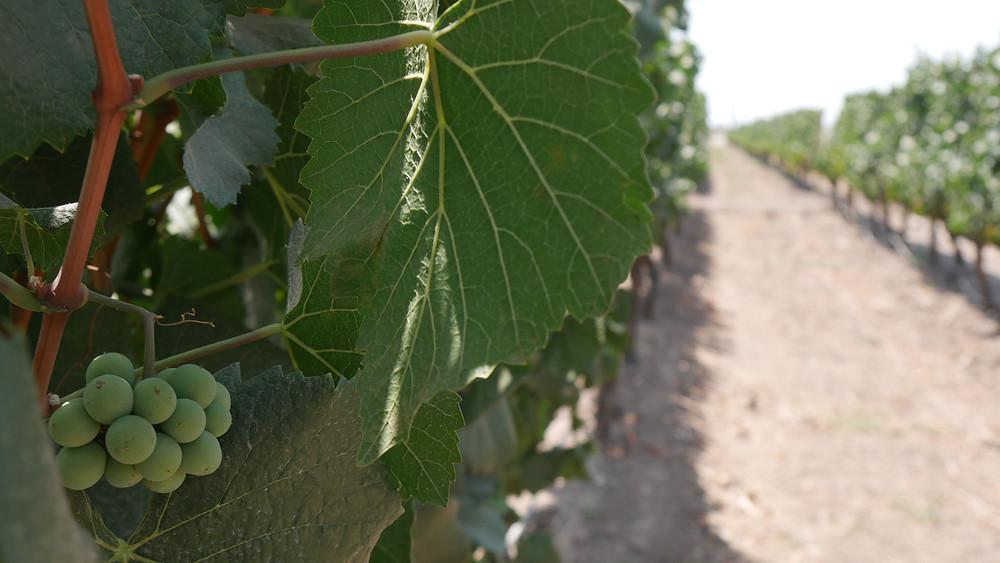 Kebun anggur di Chile (c) Arakita Rimbayana BuLiBi Bukan Liburan Biasa