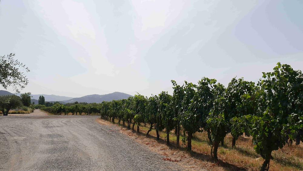 Kebun anggur di Santa Cruz, Chile (c) Arakita Rimbayana BuLiBi Bukan Liburan Biasa