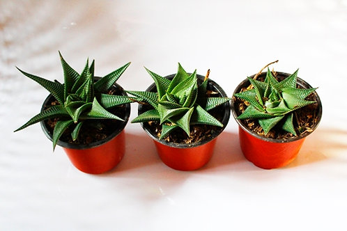 Haworthia Limifolia Marloth