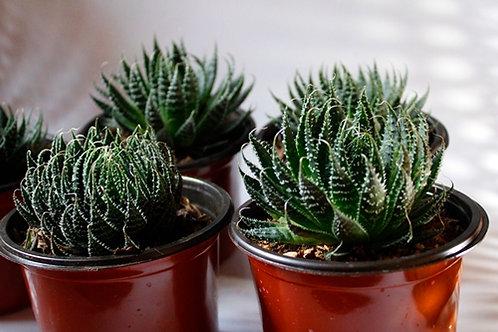 Aloe aristata Haw.