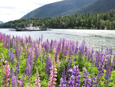 Lupins at the Ferry...