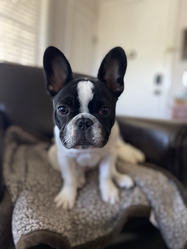 Clarabelle, our Pied Frenchie.