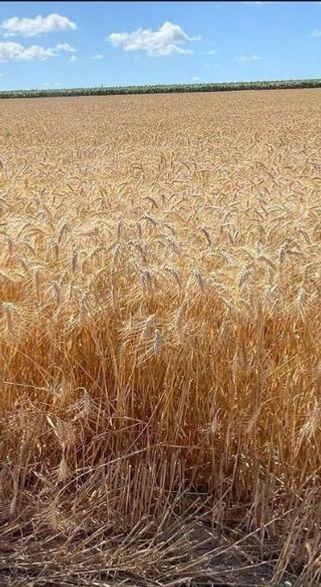 wheat 5-6 weeks past aviv, 29 May 2020.j