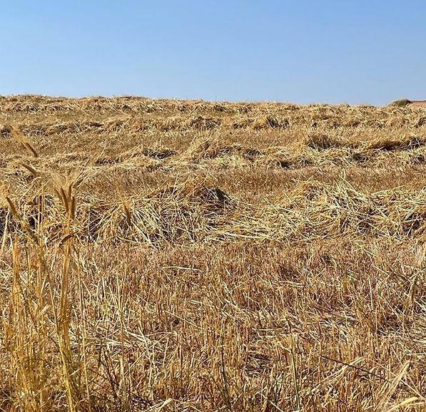 Ruhama harvested w:wild barley lower rig