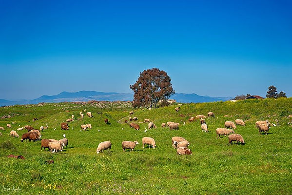 sheep grazing, 26 Mar 2021.jpg