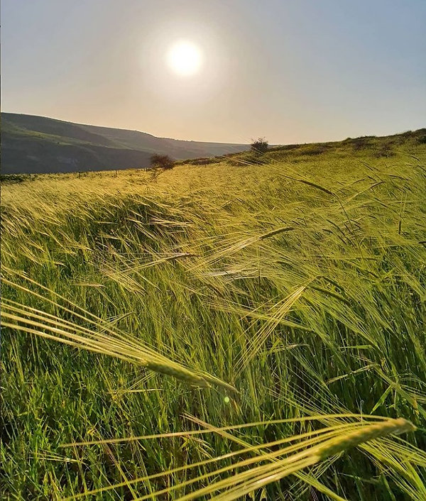 barley in northern Jordan valley, 26 Mar