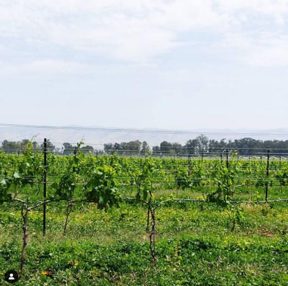 Grape vines in Sde Eliyahu Apr 16.png