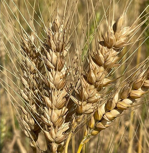 domestic red strain barley, 1 Apr 2021.j