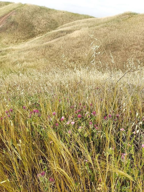 goat grass, 30 Mar 2021.jpg