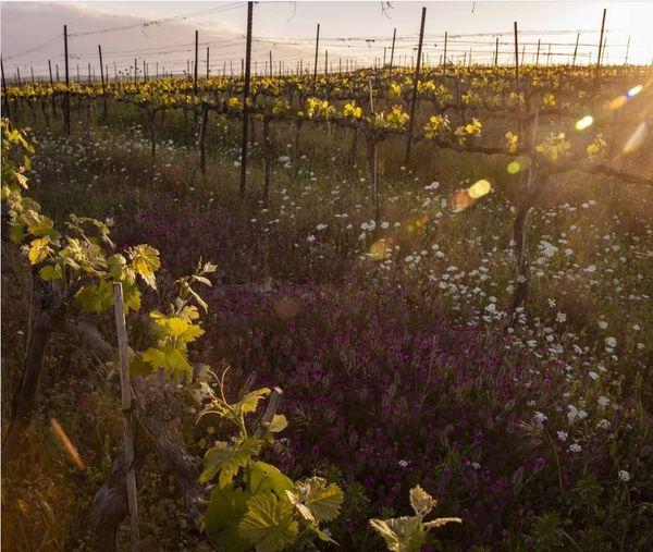 Tzora Vineyards #1 13 Apr 2021.jpg