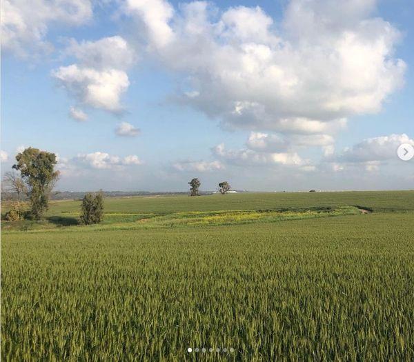 Wheat near Beeri, 28 Feb 2021.jpg