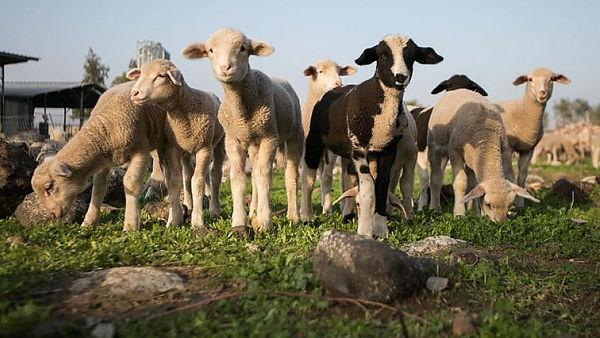 lambs, 25 mar 2021.jpg