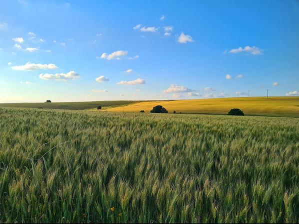 Humble barley in Daliyya, Hazafon, Apr 1