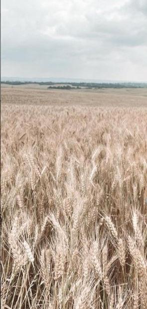 wheat for flour, 30 Mar 2021.jpg