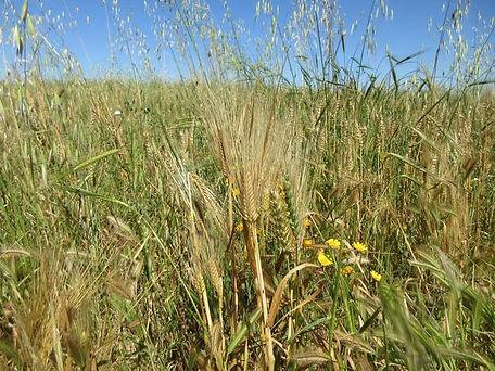 2019, wheat, domestic 2-row barley, wild