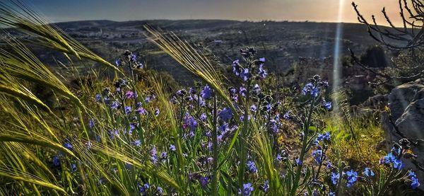 barley, fig bud Judean Hills, 18 Mar 202
