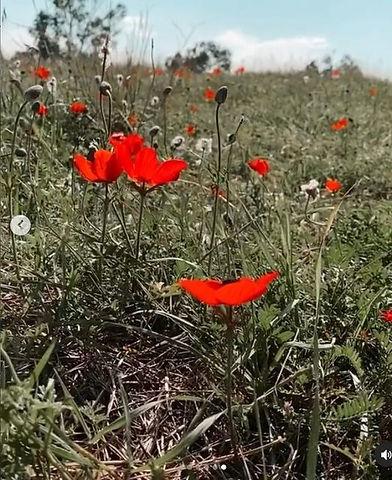 anemones dying, 9 Mar 2021.jpg
