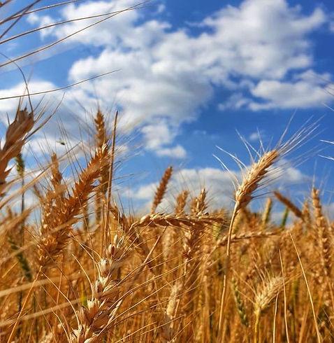 wheat, 28 Mar 20201.jpg