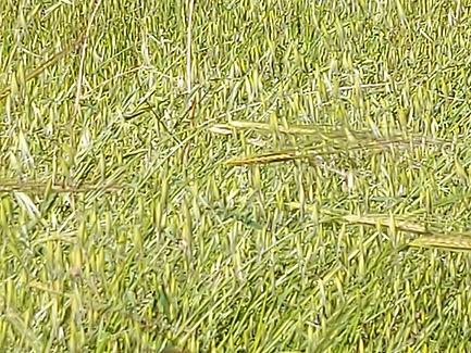 #3 barley from Giesla 25 Feb 2021.jpg