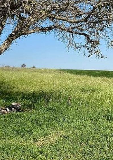 wild barley field, 20 Mar 2021.jpg