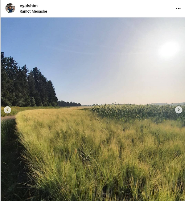 Ramot Menashe Domestic Barley and Wheat