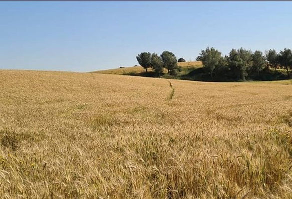 grain, negev, 4 April 2021.jpg