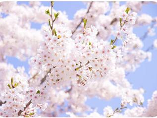 第三十三話 お花見の作法 桜、さくら、サクラ