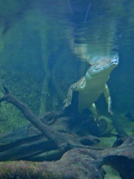 Brisbane, Au crocidile under water.jpg