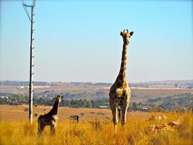 CapeTown giraffer .jpg