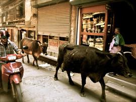 Kathmandu, Nepal cows and a moped.jpg