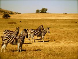 CapeTown Zebras.jpg